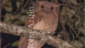 Dulit Frogmouth, Batrachostomus harterti, First image of very rare bird of Borneo