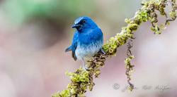 White-bellied Blue Flycatcher-2576.jpg