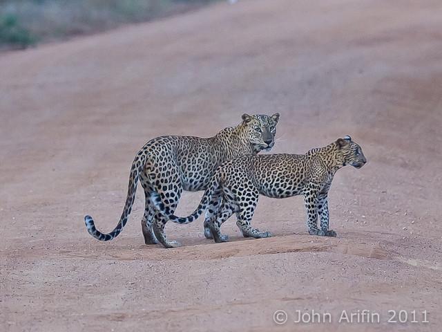 Sri Lanka Leopard and cub at Yala National Park
