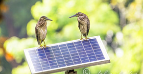Spotted two Striated Herons on solar panel at Orchard Road.