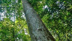 Photo Travel Asia|Dipterocarp at Bukit Timah Nature Reserve Singapore, Closure for restoration from