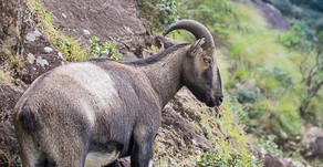 Nilgiri Tahr, Eravikulam National Park, Kerala, India