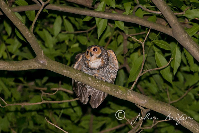 Owl , birds near Orchard Road Singapore at night-5755