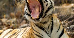 Global International Tiger Day 29 July