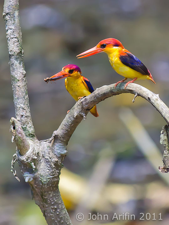 A pair of Oriental Dwarf Kingfisher