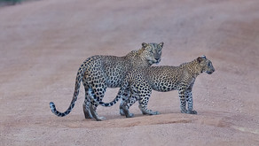 Sri Lanka Leopard, Kulu Wildlife Photo Safaris