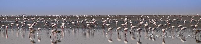 Flamingos in Gujarat