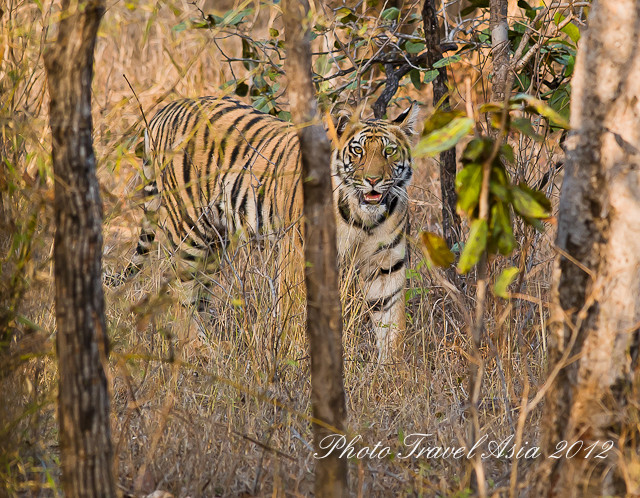 Photographing Tiger in Kanha and Bandhavgarh India