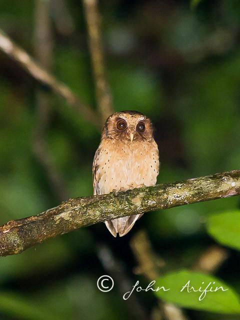 Reddish Scops Owl, Kubah National Park Sarawak,Malaysia
