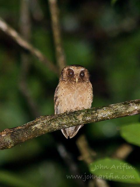 Reddish Scops Owl Borneo