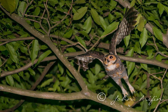 Owl , birds near Orchard Road Singapore at night
