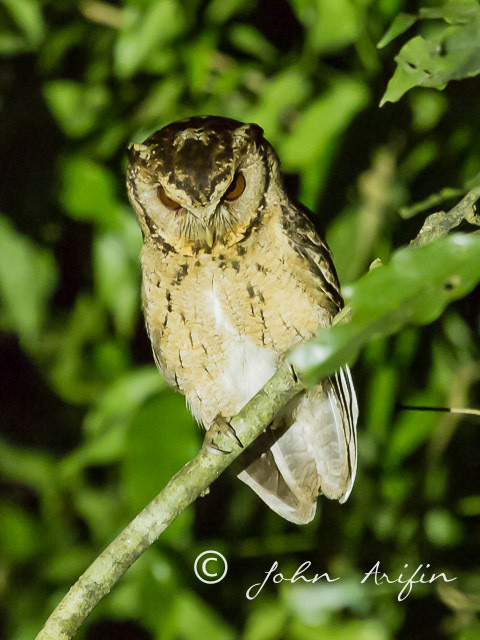 Collared Scops Owl. The awakening of the Sunda Scops Owl at the Singapore Botanical Gardens