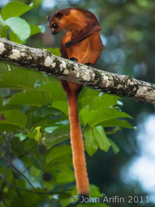 Bornean Red Flying Squirrel