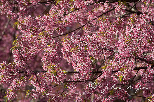 Cherry Blossom, North Thailand, Doi Inthanon, Doi Pha Hom Pok National Park