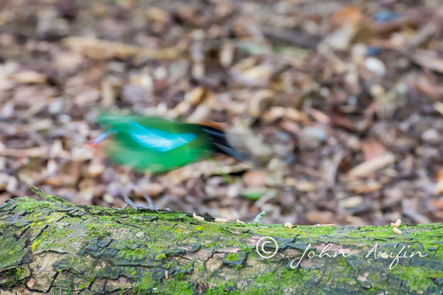 Hooded Pitta Singapore-2