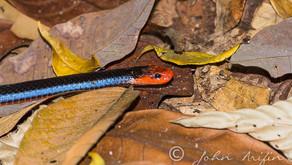 Blue Coral Snake or Malayan Coral snake (Calliophis bivirgatusta) Singapore near Terentang Trail (ne