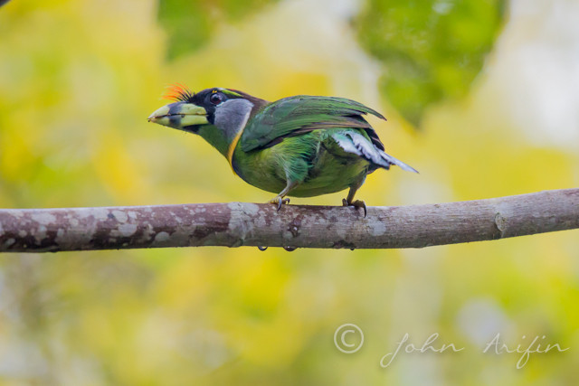 Bird Watching in Frasers Hill, Pahang, West Malaysia