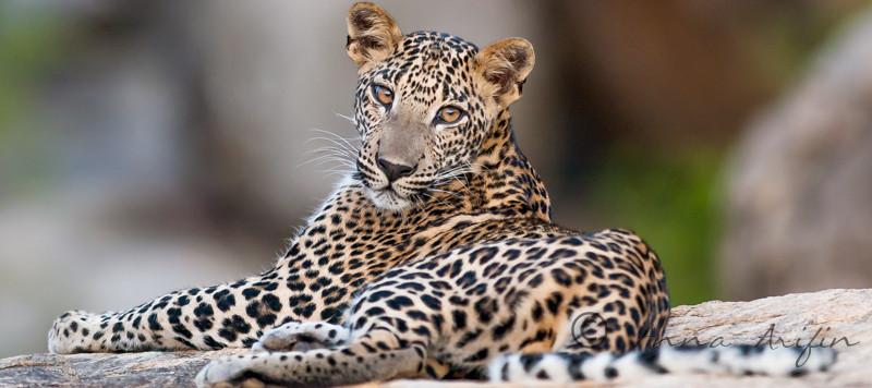 Leopards. Wildlife photography workshop Sri Lanka