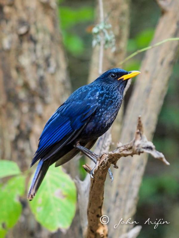 Blue Whistling-thrush