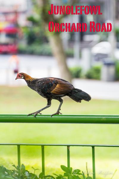 Red Junglefowl near Orcrhard Road Singapore