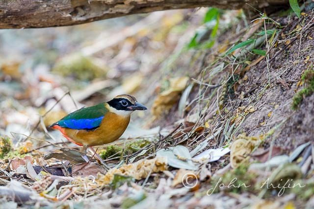 Blue-winged Pitta Singapore- Saddle Club
