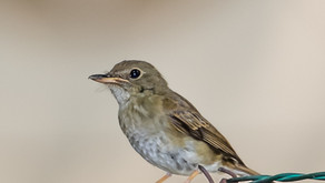 Brown-Chested Jungle Flycatcher, Singapore