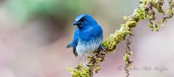 White bellied Blur flycatcher-2576.jpg