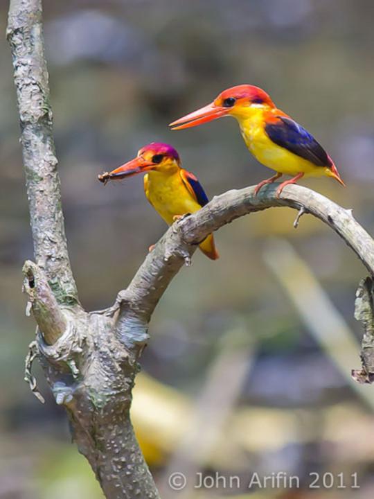 A pair of Oriental Dwarf Kingfisher