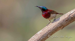 Crimson-backed Sunbird-3814.jpg