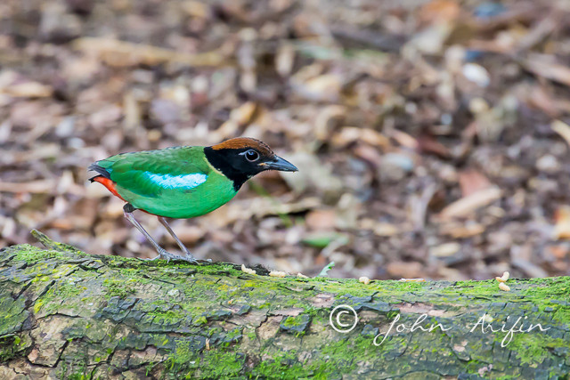 Hooded Pitta Singapore-1
