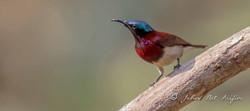 Crimson backed sunbird-3814.jpg