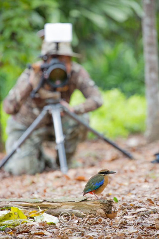 Blue-winged and Magrove Pitta in Singapore
