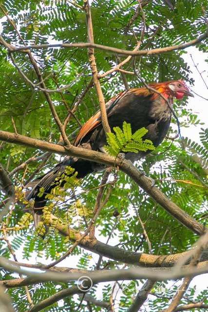 Red Junglefowl in Orchard Road, Singapore