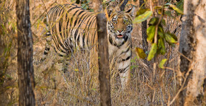 Photographing Tigers in Kanha and Bandhavgarh National Park India