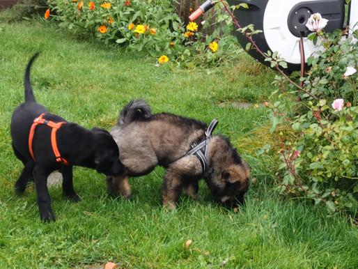 Tips til sosialisering med andre hunder