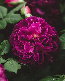 The Magic of Botanicals-1833 - Rose Crop