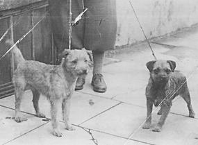 """Leatty Linkup och Leatty Golden Randy, importerade på 1950-talet och """"urhundar"""" i den svenska populationen. Många av dagens borderterrier härstammar från dessa. De kan sägas vara representanter för två olika typer."""