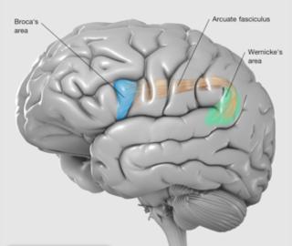 459082-Brain Broca.png