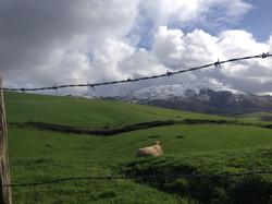Brebis au Pays Basque