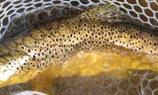 C&R - Catch & Release Best Practices - Do it right the first time, or they may not be a second.