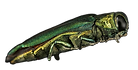 Agrilus planipennis.png