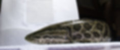 snakehead side.png