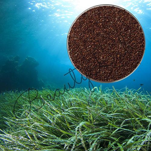 Семена морских водорослей (50 грамм)