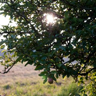 Appelboom lifestyle Maarssen