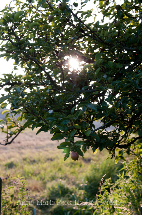 Appelboom lifestyle fotografie Maarssen