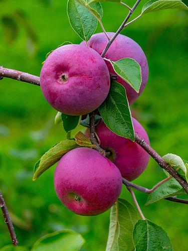Pommes l'Île d'Orléans