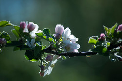 Pommier en fleurs Manou