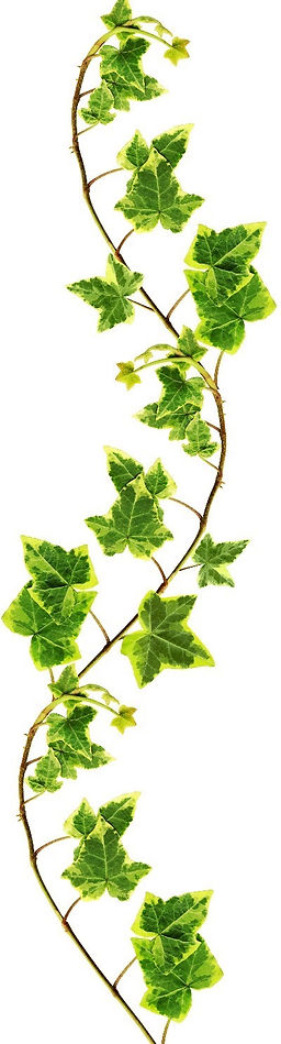 COLOURBOX3541306-ivy_edited_edited_edite