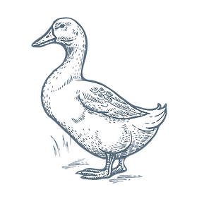 TBN Bird Illustrations-03.png