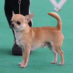 Chihuahua (Smooth Coat) Breed Stnda